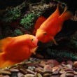 Two kissing orange fishes — Stock Photo #1234968