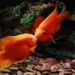 Stock Photo: Two kissing orange fishes