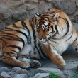 Stock Photo: Lying tiger