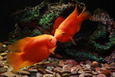 Two kissing orange fishes — Stock Photo