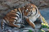 лежа тигр — Стоковое фото
