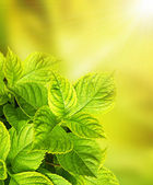 Leaves of a hydrangea — Stock Photo