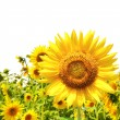 Sunflowers — Stock Photo #2562293