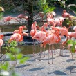 Greater Flamingos — Stock Photo #1054396