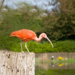 Scarlet ibis - Stock Photo
