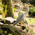 Grey heron — Stock Photo #1054539