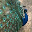 Stock Photo: Beautiful peacock