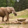 Elephant carrying a log in its trunk — Stock Photo #1054661
