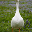 Single domestic goose - Stock Photo