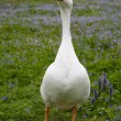 Stock Photo: Single domestic goose