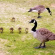 Royalty-Free Stock Photo: Family of Canada geese