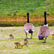 Family of Canada geese — Stock Photo