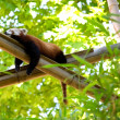 Relaxing red panda in a forest — Foto de Stock