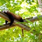 avkopplande röd panda i en skog — Stockfoto