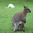 Mother and baby kangaroos - Stock Photo