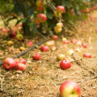 Mature apple on the ground — Foto Stock