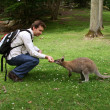 Man feeding small kangaroo — Stock Photo