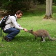Royalty-Free Stock Photo: Man feeding small kangaroo