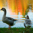 Pair of wild geese in fall forest — Stock Photo