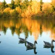 Flock of wild geese in fall forest - Stock Photo