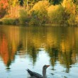 Wild goose in fall forest — Stockfoto