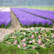 Royalty-Free Stock Photo: Colorful fields of hyacinths