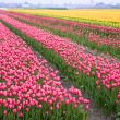 Royalty-Free Stock Photo: Colorful field of tulips
