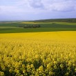Royalty-Free Stock Photo: Panoramic view of rapeseed field and green meadows