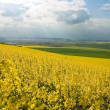 Panoramic view of rapeseed field - Stock Photo
