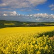 Panoramic view of rapeseed field — Stock Photo #1059012
