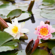 Royalty-Free Stock Photo: Beautiful white and pink waterlilies in a pond
