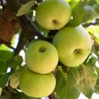 Green apples on branch — Stock Photo