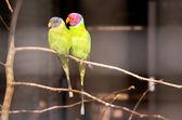 Pair of plum-headed parakeets — Stock Photo