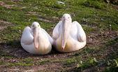 Pair of pelicans — Stock Photo