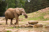 Elephant carrying a log in its trunk — Stock Photo