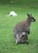 Canguros materno-infantiles — Foto de Stock