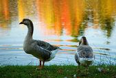 Para dzikie gęsi w lesie jesienią — Zdjęcie stockowe