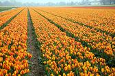 Kolorowe pola tulipanów — Zdjęcie stockowe