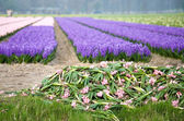Colorful fields of hyacinths — Stock Photo