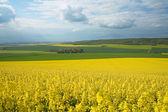 Panoramic view of rapeseed field — Stock Photo