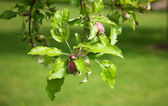 Apples begining to mature on a branch — Stock Photo