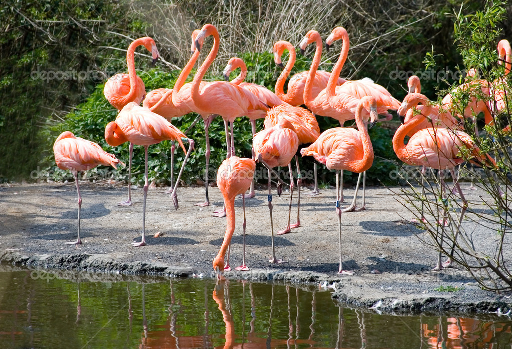 Greater Flamingos in park Avifauna, the Netherlands — Stock Photo #1054435