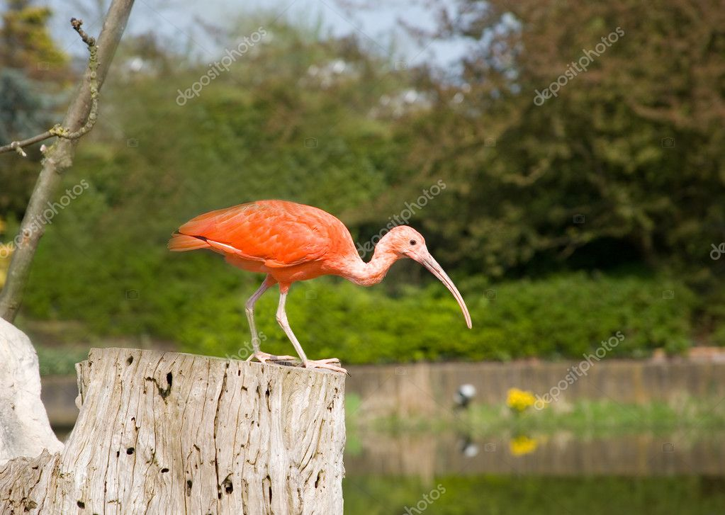 Scarlet ibis. Park Avifauna, the Netherlands — Stock Photo #1054481