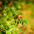 Autumn mood. Dog rose fruits — Stockfoto