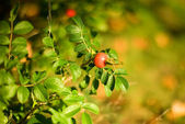 Autumn mood. Dog rose fruits — Stock Photo