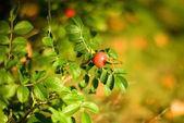 Autumn mood. Dog rose fruits — Stock Photo