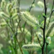 Willow twig with flowering catkins - Stock Photo