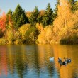 Flock of wild geese in fall forest — Stock Photo
