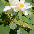White blooming lotus — Stock Photo #1078075