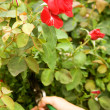 Stock Photo: Pruning rose in garden